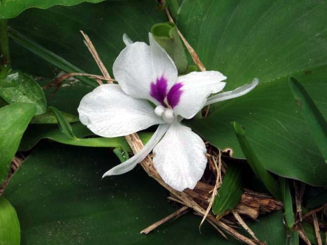 Kaempferia Galanga in bloom