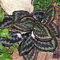 Kaempferia pulchra 'Silverspot', Alani Davis