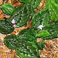 Kaempferia p. mansonii, Alani Davis