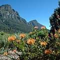 Ericas, Leucospermum, Aristea in garden, Bob Rutemoeller
