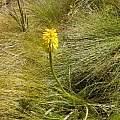 Kniphofia citrina, Gaika's Kop, Cameron McMaster