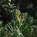 Kniphofia multiflora, Nhu Nguyen
