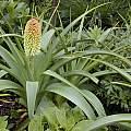 Kniphofia northiae, Ellen Hornig