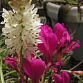 Lachenalia contaminata, Pelargonium incrassatum, Bob Rutemoeller