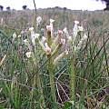 Lachenalia algoensis, iNaturalist, Foster, CC BY-NC