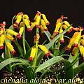 Lachenalia aloides var. aloides, Bill Dijk