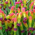 Lachenalia aloides var. quadricolor, Alan Horstmann