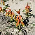 Lachenalia bulbifera, Hopefield, Cameron McMaster