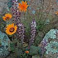 Lachenalia carnosa, Namaqualand, Bob Rutemoeller