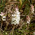 Lachenalia contaminata, Boskloof, Cameron McMaster [Shift+click to enlarge, Click to go to wiki entry]
