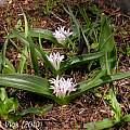 Polyxena/Lachenalia ensifolia, Jan and Anne Lise Schutte-Vlok