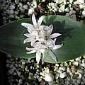 Polyxena/Lachenalia ensifolia, Nhu Nguyen