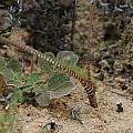 Lachenalia hirta, Namaqualand, Mary Sue Ittner