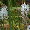 Lachenalia liliflora, Mary Sue Ittner