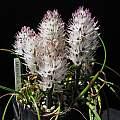 Lachenalia multifolia, Nhu Nguyen