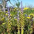 Lachenalia mutabilis, Nieuwoudtville, Cameron McMaster