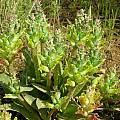 Lachenalia orchioides ssp. orchioides, Alan Horstmann