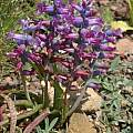 Lachenalia orchioides ssp. glaucina, Rod Saunders