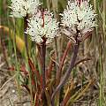 Lachenalia orthopetala, Andrew Harvie [Shift+click to enlarge, Click to go to wiki entry]