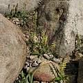 Lachenalia pallida, Nhu Nguyen