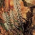 Lachenalia thomasiae, Rod Saunders