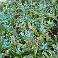 Lachenalia viridiflora, Digby Boswell