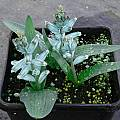 Lachenalia viridiflora, Susan Hayek