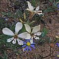 Lapeirousia fabricii, Namaqualand, Mary Sue Ittner