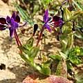 Lapeirousia jacquinii, Nieuwoudtville, Bob Rutemoeller