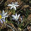 Lapeirousia montana, Komsberg, Bob Rutemoeller