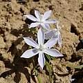 Lapeirousia montana, Middelpos, Cameron McMaster