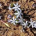 Lapeirousia montana, Middelpos, Mary Sue Ittner
