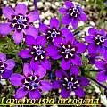 Lapeirousia oreogena, Bill Dijk