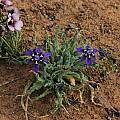 Lapeirousia oreogena, Bob Rutemoeller [Shift+click to enlarge, Click to go to wiki entry]