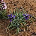 Lapeirousia oreogena, Nieuwoudtville, Bob Rutemoeller