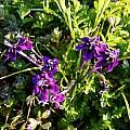 Lapeirousia oreogena, Nieuwoudtville Reserve, Cameron McMaster