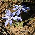 Lapeirousia plicata, Middelpos, Bob Rutemoeller [Shift+click to enlarge, Click to go to wiki entry]