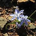 Lapeirousia plicata, Middelpos, Mary Sue Ittner