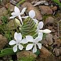 Lapeirousia pyramidalis, Alan Horstmann