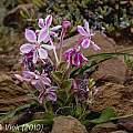 Lapeirousia pyramidalis ssp. pyramidalis, Little Karoo, Jan and Anne Lise Schutte-Vlok