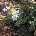 Lapeirousia pyramidalis ssp. pyramidalis, Swellendam, Bob Rutemoeller