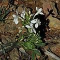 Lapeirousia pyramidalis ssp. pyramidalis, Villiersdorp, Mary Sue Ittner