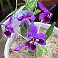 Lapeirousia pyramidalis ssp. regalis, Bob Rutemoeller