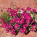 Lapeirousia silenoides, Namaqualand, Mary Sue Ittner