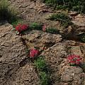 Lapeirousia silenoides, Namaqualand, Bob Rutemoeller