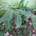 Larsenianthus careyanus, Yercaud Elango, CC BY 4.0