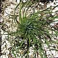 Ledebouria leptophylla, Nhu Nguyen