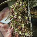 Ledebouria ovatifolia, Nhu Nguyen