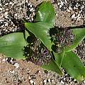 Ledebouria sp. ex KwaZulu-Natal, Nhu Nguyen