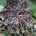 Ledebouria sp., Mary Sue Ittner